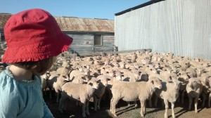 The smallest farmer overseeing drafting lambs.