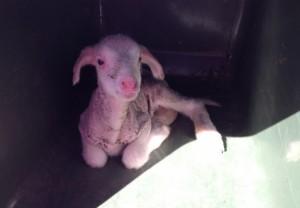 Lamb in a wheelie bin